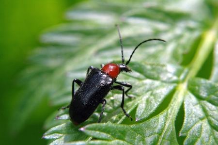 cantharis: Black and red bug - Cantharis pellucida - sitting on a bright green leaf plants.