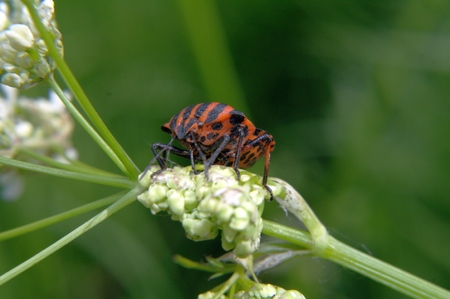 lineatum: Orange with black stripes bug - Graphosoma lineatum - sitting on a flower. Stock Photo