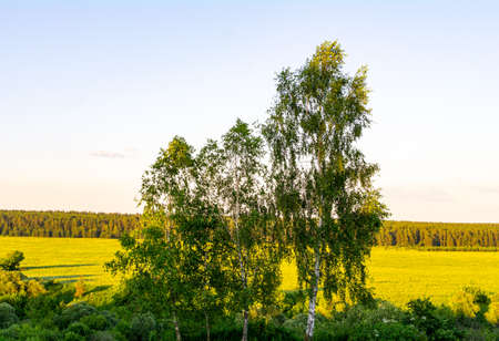 Birch trees on the background of fields under the midday sun.