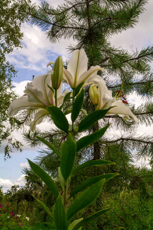 White lily and pine on a background of the sky with clouds. Archivio Fotografico