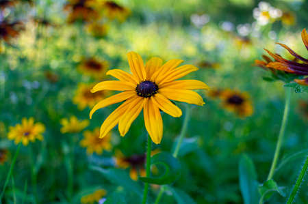 Yellow summer flowers and green grass, summer meadow.