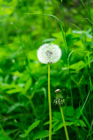Fluffy dandelion surrounded by green grass, summer