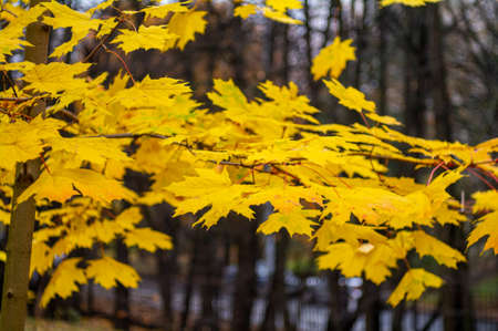 Yellow maple autumn leaves in cloudy park