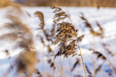 marsh plant: Sedge grass on a background of snow Stock Photo
