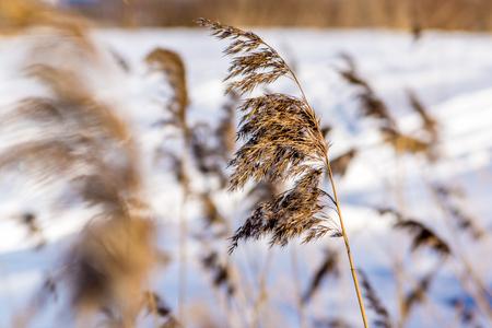 sedge: Sedge grass on a background of snow Stock Photo