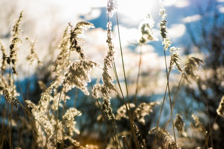 sedge: sedge grass on blue sky background - bokeh Stock Photo