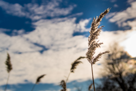 sedge: sedge grass on a background of blue sky and clouds Stock Photo