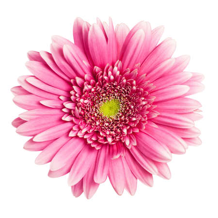 pink gerbera flower isolated on white background 写真素材