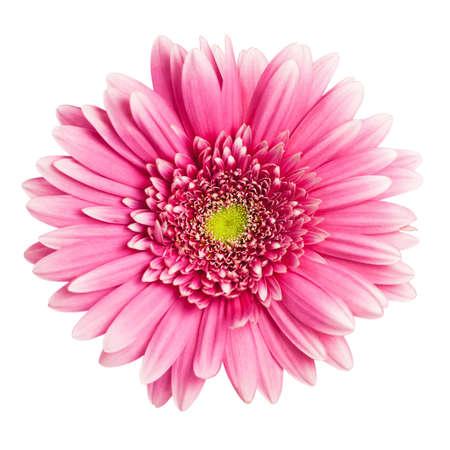 marguerite: gerbera rose fleur isolée sur fond blanc
