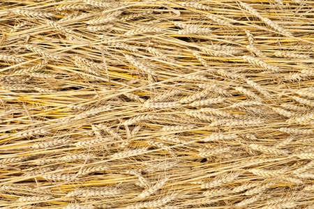 golden fully ripe wheat fields texture background in summer  Stock Photo