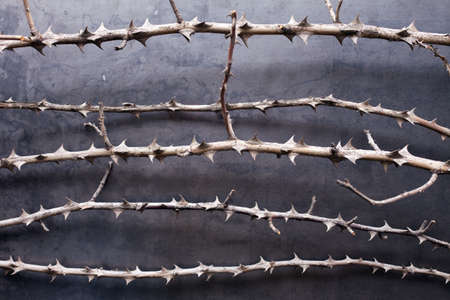thorns  sharp: dry branches with thorn on metal texture background  Stock Photo