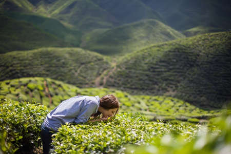 tea crop: Young Woman on Tea Plantation Smelling Fresh Tea Leaves Stock Photo