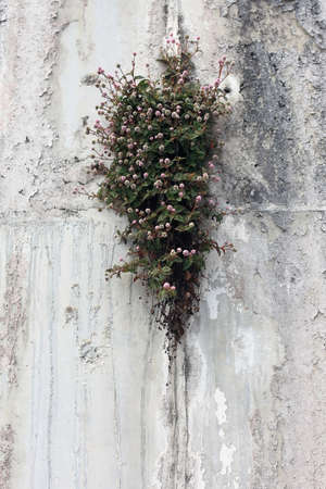 plant nature: Plant with small flowers growing in rock crevice. Nature backround