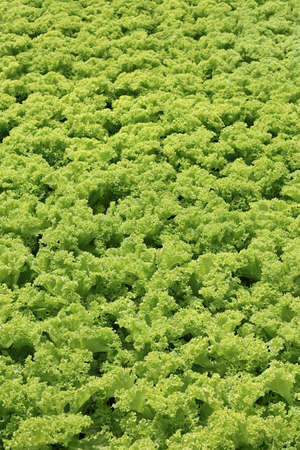 heap: Fresh green lettuce salad texture background