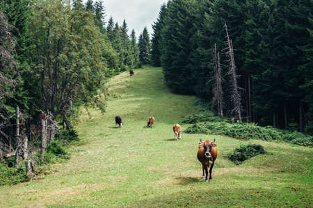 Herd of cows grazing on a green meadow in forest. nature background