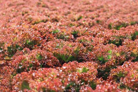 fresh leaf: Fresh red lettuce salad leaf texture background Stock Photo