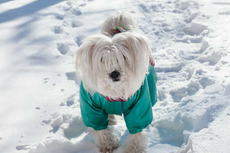 Portrait of cute small dog wearing a winter coat on a snow