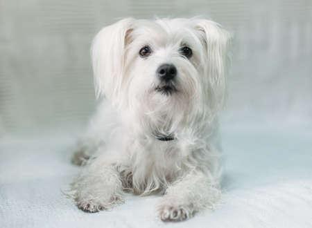 Cute fluffy white dog