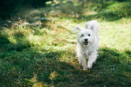 White adorable dog running in forest on sunny day