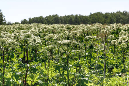 Sosnowski's Hogweed flowers on summer field