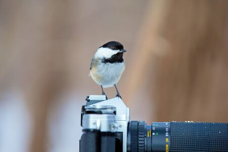 gladly: The black-capped chickadee  is a small, non migratory, North American songbird that lives in deciduous and mixed forests. It is a very underrated friendly bird that will gladly take food from hands.