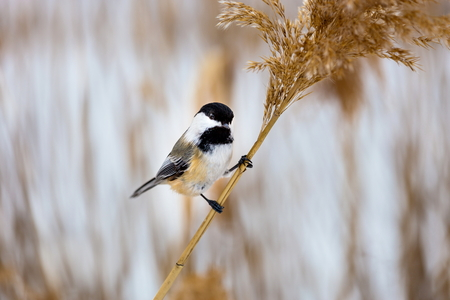 birds on branch: The black-capped chickadee  is a small, non migratory, North American songbird that lives in deciduous and mixed forests. It is a very underrated friendly bird that will gladly take food from hands.