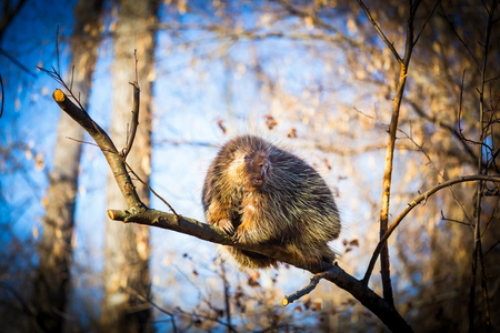 with spines: Porcupines pronounced blue are rodents with a coat of sharp spines, or quills, that protect against predators. They live in wooded areas and climb trees, where some species spend their entire lives.