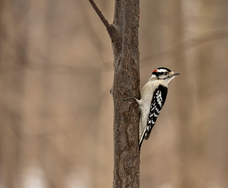 familiar: The active little Downy Woodpecker is a familiar sight at backyard feeders and in parks and woodlots, where it joins flocks, barely outsizing them. The male has a red patch on the back of his head.