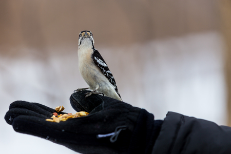feeders: The active little Downy Woodpecker is a familiar sight at backyard feeders and in parks and woodlots, where it joins flocks, barely outsizing them. The male has a red patch on the back of his head.