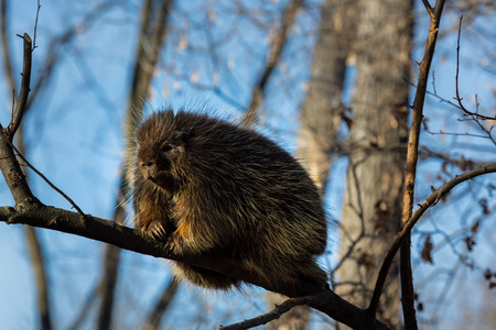 spines: Porcupines pronounced blue are rodents with a coat of sharp spines, or quills, that protect against predators. They live in wooded areas and climb trees, where some species spend their entire lives.