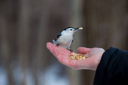 stocky: The white-breasted nuthatch is a small songbird of the nuthatch family which breeds in old-growth woodland across much of temperate North America. It is a stocky bird, with a large head, short tail. Stock Photo