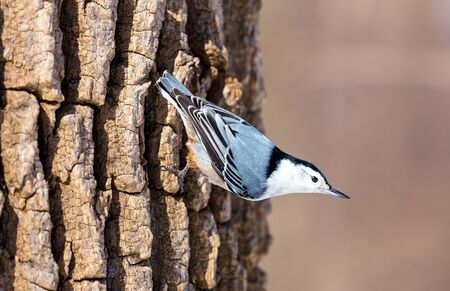 stocky: The white-breasted nuthatch is a small songbird of the nuthatch family which breeds in old-growth woodland across much of North America. It is a stocky bird, a large head, short tail, powerful bill