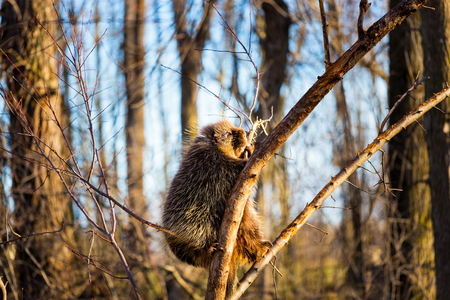 spines: Porcupines are rodents with a coat of sharp spines, or quills, that protect against predators. They live in wooded areas and climb trees, where some species spend their entire lives.