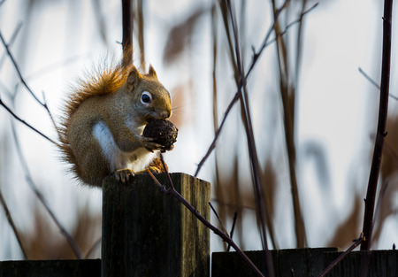 underbelly: Red squirrels can be easily identified from other North American tree squirrels by their smaller size, territorial behavior and reddish fur with a white venter (underbelly). Stock Photo