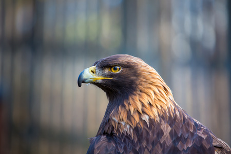 homing: Portrait of a Golden Eagle. These birds of prey are the kings and queens of the sky, flying at great heights and distances with acute eyesight for homing in on prey.