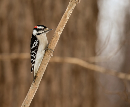 joins: The active little Downy Woodpecker is a familiar sight at backyard feeders and in parks and woodlots, where it joins flocks, barely outsizing them. The male has a red patch on the back of his head.