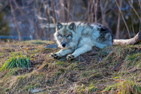 timber wolf: The gray wolf or grey wolf also known as the timber wolf, or western wolf, is a canine native to the wilderness and remote areas of North America and Eurasia. It is the largest member of its family. Stock Photo