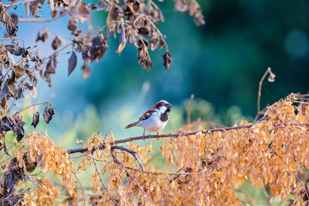 The Indian house sparrow is strongly associated with human habitations, and can live in urban or rural settings. Though found in widely varied habitats and climates, it typically avoids open spaces.