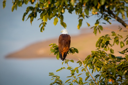 scavenger: The brahminy kite, also known as the red-backed sea-eagle , is a medium-sized bird of prey in the family scavenger