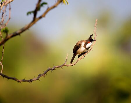 perching: The red-whiskered bulbul is a perching bird found in Asia.