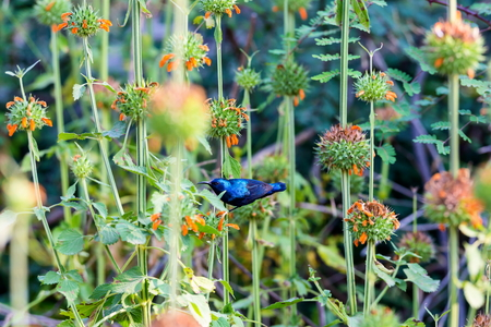 olive green: The purple sunbird is a small sunbird. Like other sunbirds they feed mainly on nectar, although they will also take insects especially when feeding young. These spectacular birds can be found in India Stock Photo