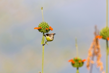 subcontinent: Female purple-rumped sunbird. This is a sunbird endemic to the Indian Subcontinent.
