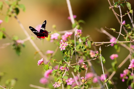 rose butterfly: The Crimson Rose Butterfly is a very striking tailed butterfly with prominent white bands on its forewings. Stock Photo