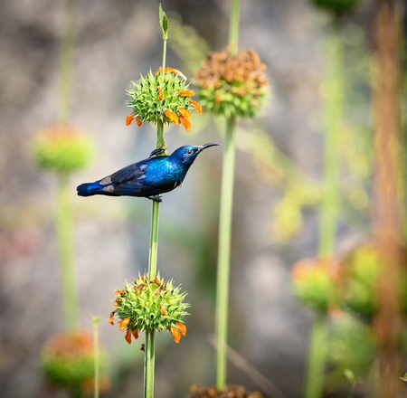 sunbird: The purple sunbird is a small sunbird. Like other sunbirds they feed mainly on nectar, although they will also take insects especially when feeding young.