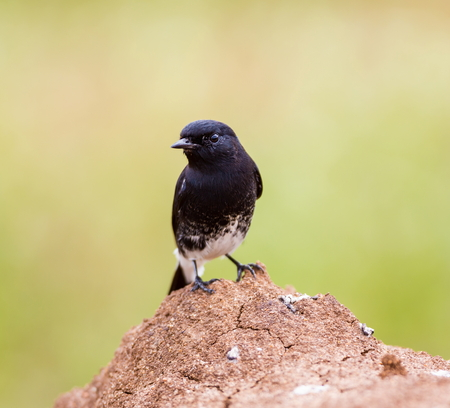 ranging: The pied bush chat is a small passerine bird found ranging from West Asia and Central Asia to the Indian subcontinent and Southeast Asia. About sixteen subspecies are recognized through its wide range Stock Photo