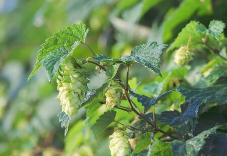 Hop cones in the rays of the dawn sun photo