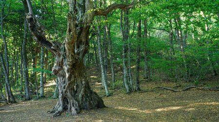 Hornbeam tree in the twilight forest in Crimea