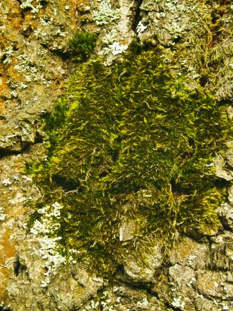 Thick green moss and fastened to the cracked bark of old oak. photo