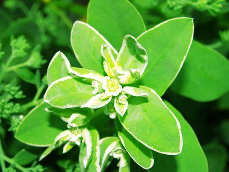 five petals: Five petals edged. Close-up.