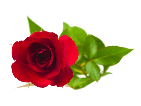 A flower of roses  Isolated on white photo